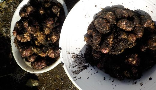 キクイモを収穫しました
